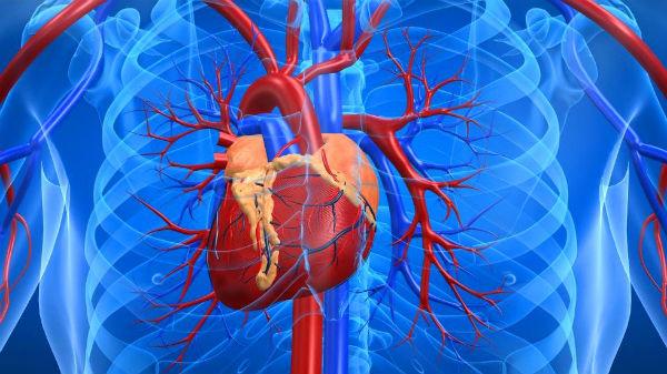 что входит в систему органов кровообращения